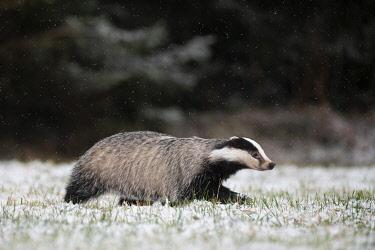 IBXHJE05092660 European badger (Meles meles) runs over snowy meadow during snowfall, Eifel, Rhineland-Palatinate, Germany, Europe