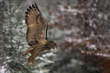 IBXHJE05093692 Eurasian eagle-owl (Bubo bubo) in flight in snowfall, Eifel, Germany, Europe
