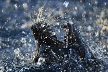 IBXIMW05100765 California sea lion (Zalophus californianus), male, splashing in water, animal portrait, close-up, captive, Germany, Europe