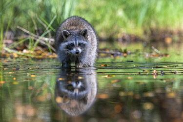 IBXJOR05088272 Raccoon (Procyon lotor) wads through water, Louisiana, USA, North America