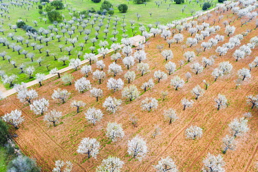 IBXMAN05115430 Almond blossom, flowering almond trees in plantation, near Marratxi, aerial view, Majorca, Balearic Islands, Spain, Europe