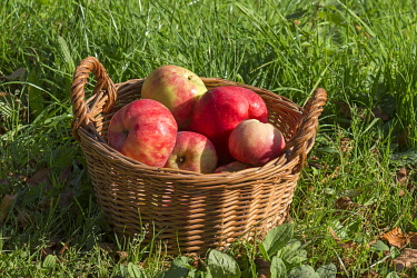IBXMZC05093053 Harvested large red apples in a basket, Mecklenburg-Western Pomerania, Germany, Europe