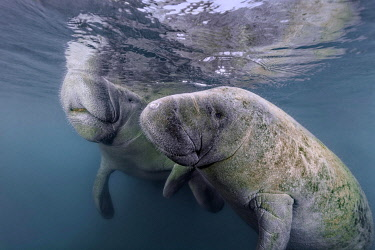IBXNPR05114210 Pair West Indian manatees (Trichechus manatus), Three Sisters Springs, Manatee Sanctuary, Crystal River, Florida, USA, North America
