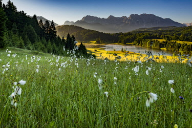 IBXSEI04539186 Cottongrass (Eriophorum) on mountain meadow with Karwendel at back, Kaltenbrunn, Upper Bavaria, Germany, Europe