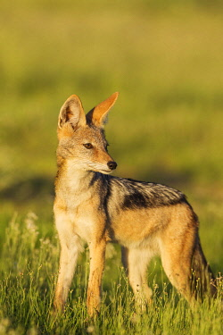IBXTDR04542869 Black-backed Jackal (Canis mesomelas), standing in grassland, Kalahari Desert, Kgalagadi Transfrontier Park, South Africa, Africa