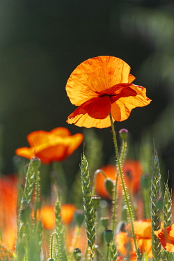 IBXTKE05117158 Corn poppies (Papaver rhoeas), Baden-Wurttemberg, Germany, Europe
