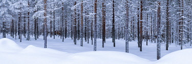 FIN1146AW Pine Forest in Winter, Lapland, Finland