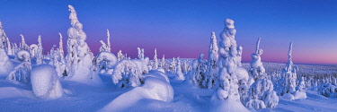 FIN1162AW Dawn Light on Snow-covered Pine Trees, Riisitunturi National Park, Posio, Lapland, Finland