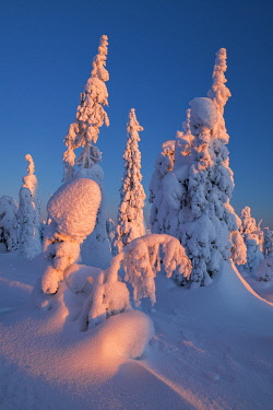 FIN1164AW Dawn Light on Snow-covered Pine Trees, Riisitunturi National Park, Posio, Lapland, Finland