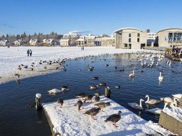 EU14MZW1680 Birds on the frozen lake during winter, Reykjavik, Iceland.
