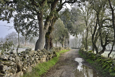 POR10877AW Misty and cold morning with common ashes and oaks at Vale de �guia, in the International Douro Nature Park (Parque Natural do Douro Internacional). Miranda do Douro, Portugal