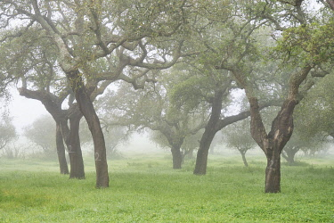 POR10904AW Cork trees in a misty morning. A forest (montado) in the Arrabida Nature Park. Palmela, Portugal