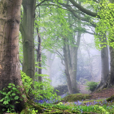 ENG16590AW England, West Yorkshire, Calderdale. A misty woodland scene in the spring.
