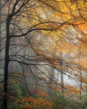 ENG16598AW England, West Yorkshire, Calderdale. Autumnal beech trees in fog.