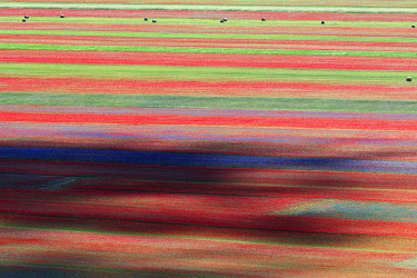 ITA15208AW Summer wildflowers at sunset in Castelluccio di Norcia, Umbria, Italy