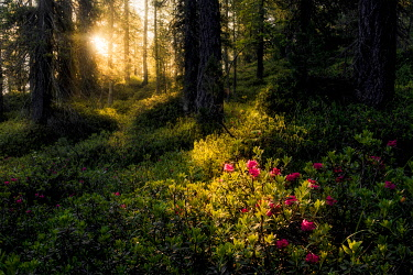 ITA15259AW Rhododendron taking the first lights of the day in the forests of the Dolomites, Italy