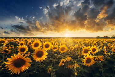 ITA15266AW Sunflowers during a colorful summer sunset in Tuscany, Italy