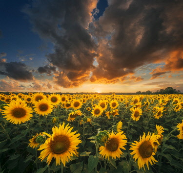 ITA15268AW Sunflowers during a colorful summer sunset in Tuscany, Italy