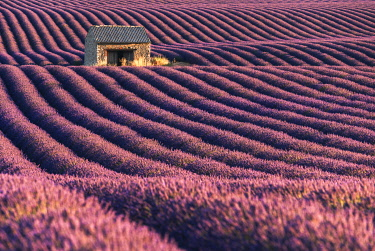 FRA11832AW A lonely abandoned farmhouse in the middle of lavender's fields, Provence, France