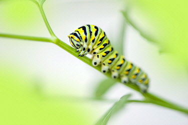 NA01LEN0237 Black Swallowtail caterpillar, USA