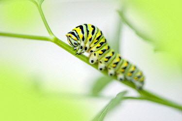 NA01LEN0237 Black Swallowtail caterpillar, USA