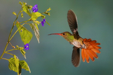 NA02KAR1141 Rufus-tailed hummingbird
