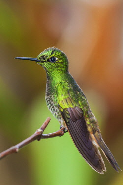 NA02KAR1147 Buff-tailed coronet hummingbird
