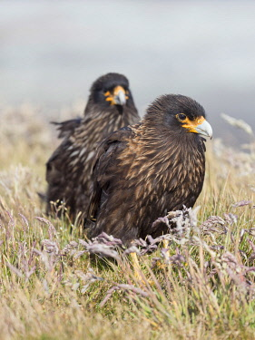 SA09MZW1350 Adult striated caracara, protected, endemic to the Falkland Islands.