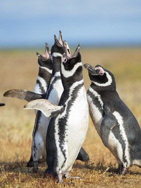 SA09MZW1449 Magellanic Penguin social interaction and behavior in a group, Falkland Islands.