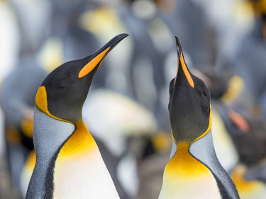SA09MZW1486 King Penguin, Falkland Islands.