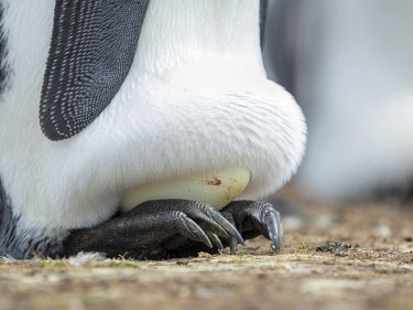 SA09MZW1499 Egg being incubated by adult King Penguin while balancing on feet, Falkland Islands.