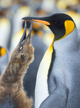 SA09MZW1505 King Penguin feeding a chick in brown plumage, Falkland Islands.