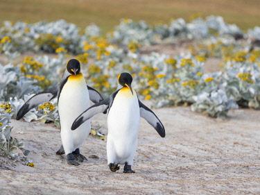 SA09MZW1511 King Penguin, Falkland Islands.