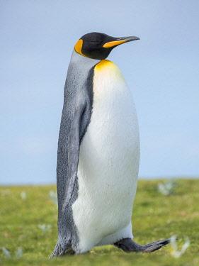 SA09MZW1512 King Penguin, Falkland Islands.