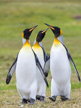 SA09MZW1525 King Penguin courtship display, Falkland Islands.