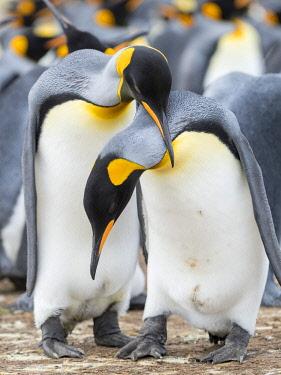 SA09MZW1528 King Penguin courtship display, Falkland Islands.
