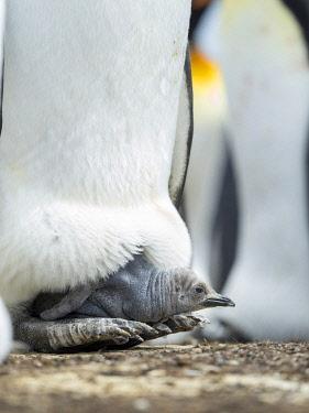 SA09MZW1535 King Penguin chick balancing on the feet of a parent, Falkland Islands.