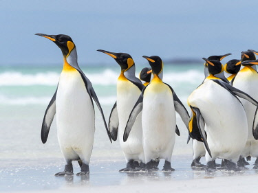 SA09MZW1563 King Penguin, Falkland Islands.
