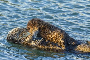 US05BJY1579 USA, California, San Luis Obispo County. Sea otter mom and pup