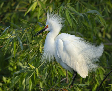 US10MPR1201 Snowy egret showing breeding plumage, Florida, USA.
