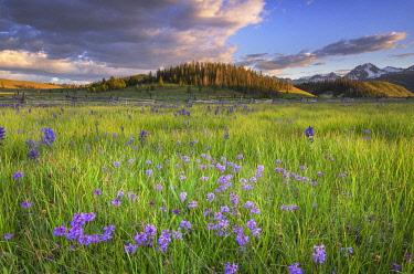 US13AMA0090 USA, Idaho. Rydberg's Penstemon, Sawtooth Mountains.