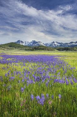 US13AMA0020 USA, Idaho. Meadows of common camas, Stanley Basin Sawtooth Mountains.