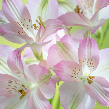 US48BJY1341 USA, Washington State, Seabeck. Alstroemeria blossoms close-up