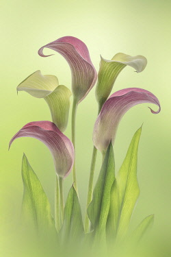 US48BJY1380 USA, Washington State, Seabeck. Calla lily flowers close-up