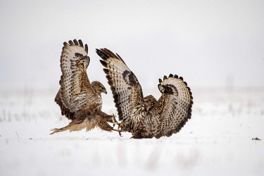 IBLHEI05123461 Two Steppe buzzards (Buteo buteo) fighting in the snow, Hungary, Europe