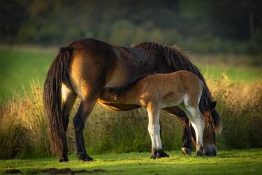 IBLTOA05133369 Exmoor ponies (Equus caballus), Mare suckles foals, Exmoor National Park, England