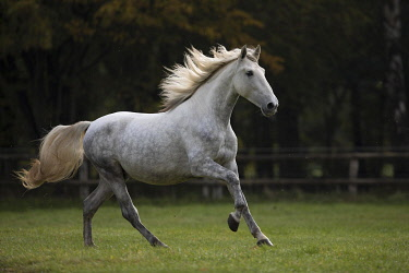 IBXJMO05133781 Pura Raza EspaO�ola grey gallops in the paddock in autumn, Traventhal, Germany, Europe