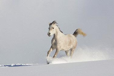 IBXJMO05134776 Thoroughbred Arabian mare grey in snow, Tyrol, Austria, Europe