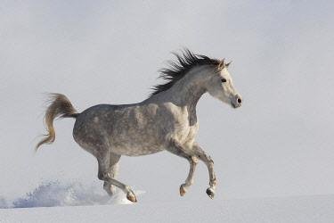 IBXJMO05134792 Thoroughbred Arabian mare grey in snow, Tyrol, Austria, Europe