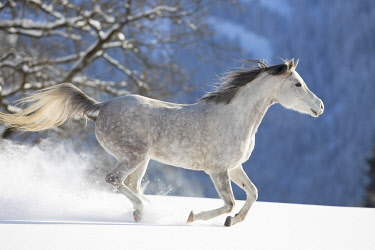 IBXJMO05134793 Thoroughbred Arabian mare grey in snow, Tyrol, Austria, Europe